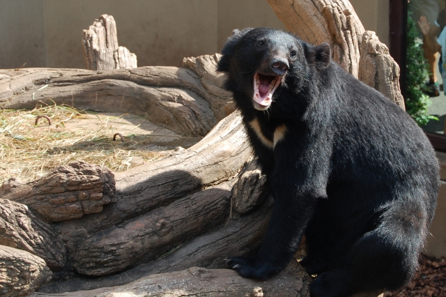 熊が暴れる夢占い