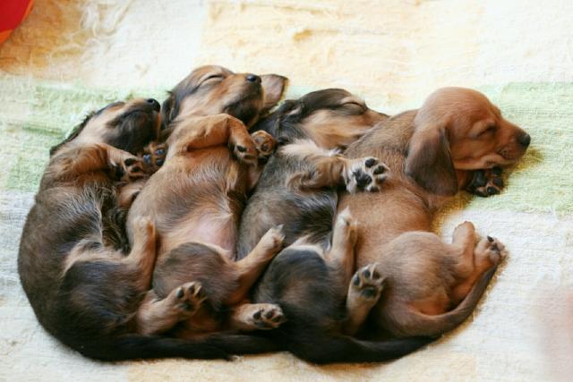 犬が出産する夢占い