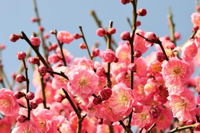 梅の花の夢占い