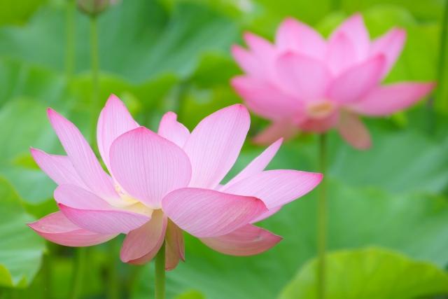 蓮の花の夢占い