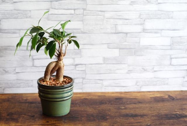 ガジュマル(幸せを呼ぶ木)