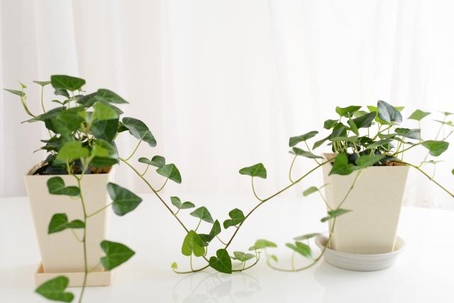 葉っぱが下向きの観葉植物