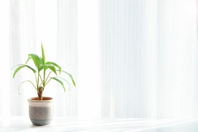 上に伸びる植物、葉っぱが上向きに伸びる観葉植物