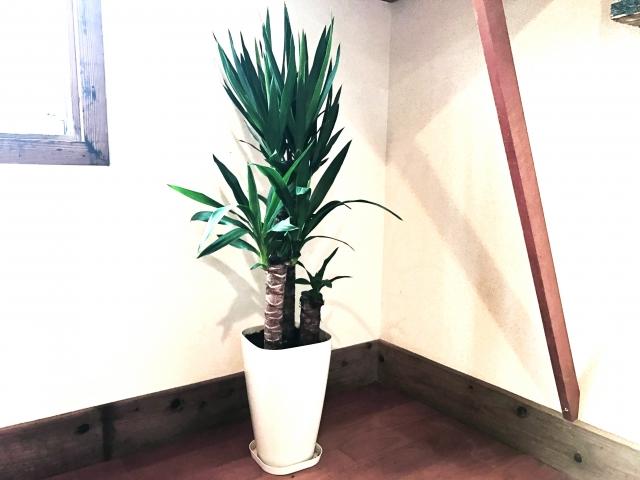 ドラセナ・マッサンゲアナ(幸福の木として有名)